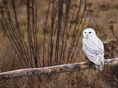 Snowy Owl Perched on Log-Mike Cavaroc-Photographic Print