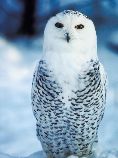 Snowy Owl Standing in Snow--Photographic Print