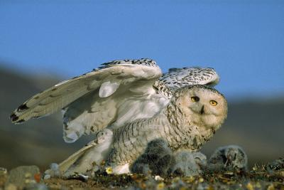 Snowy Owl with Chicks--Photographic Print