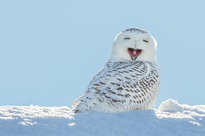 Snowy Owl Yawning, Which Makes it Look like it's Laughing. Copy Space to Left.- James Pintar-Photographic Print