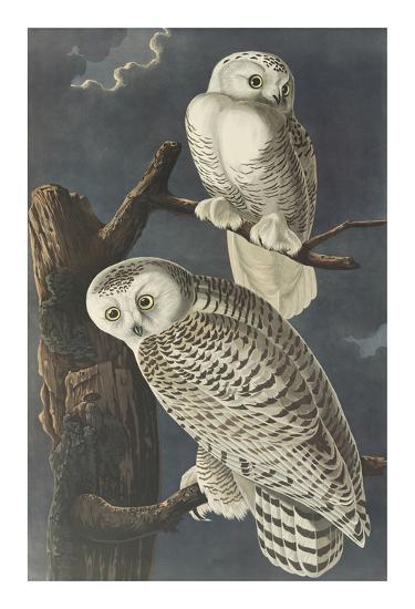 Snowy Owl-John James Audubon-Premium Giclee Print
