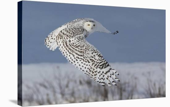 Snowy Owl-Mircea Costina-Stretched Canvas Print
