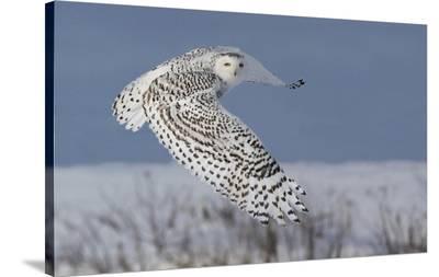 Snowy Owl-Mircea Costina-Stretched Canvas Print