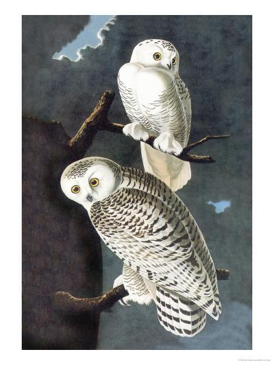 Snowy Owl-John James Audubon-Art Print
