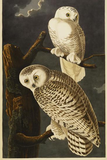 Snowy Owl-John James Audubon-Giclee Print