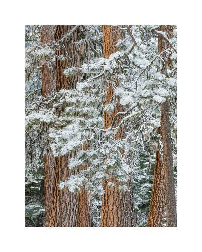 Snowy Pine Forest-Don Paulson-Giclee Print