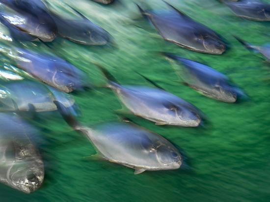 Snub-Nosed Darts, Trachinotus Blochii, Sydney Aquarium, Australia-Frans Lanting-Photographic Print