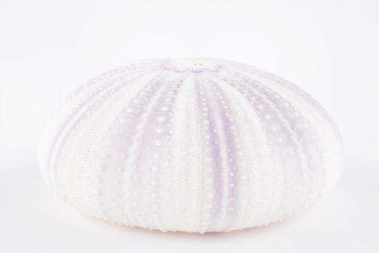 So Pure Collection - Natural Mauve Sea Urchin Shell-Philippe Hugonnard-Photographic Print
