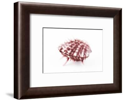 So Pure Collection - Red Spondylus Seashell-Philippe Hugonnard-Framed Photographic Print
