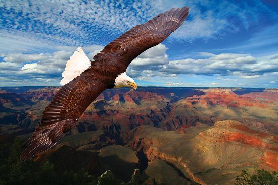 soaring-bald-eagle