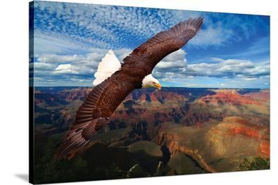 Soaring Bald Eagle--Stretched Canvas Print