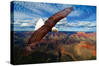 Soaring Bald Eagle--Stretched Canvas Print
