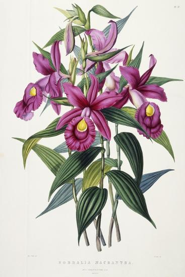 Sobralia Macrantha, C.1837-43-Sarah Ann Drake-Giclee Print