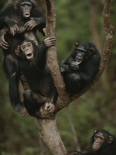 Social Climbers Sound off at a Chimp Klatch in a Tree-Michael Nichols-Photographic Print