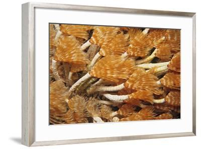 Social Feather Duster Worm (Bispira Brunnea) Cancun National Park, Caribbean Sea, Mexico, July-Claudio Contreras-Framed Photographic Print
