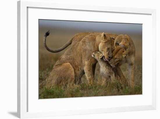 Social Licking, after a Heavy Rain, Helps to Reinforce the Social Bonds Within the Pride.-Michael Nichols-Framed Photographic Print
