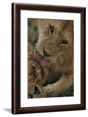 Social Licking Helps to Reinforce the Social Bonds Within the Pride-Michael Nichols-Framed Photographic Print