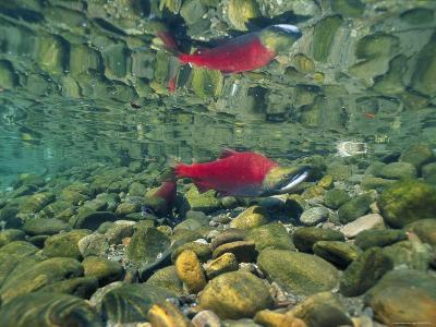 Sockeye Salmon, Also Called Red Salmon, and its Reflection--Photographic Print