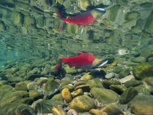 Sockeye Salmon, Also Called Red Salmon, and its Reflection