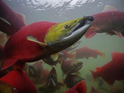 Sockeye Salmon Find their Way from the Ocean to their Natal Stream-Michael Melford-Photographic Print