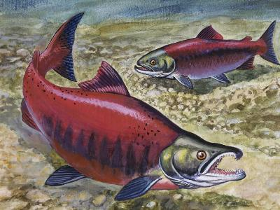 Sockeye Salmon or Red Salmon (Oncorhynchus Nerka), Salmonidae--Giclee Print