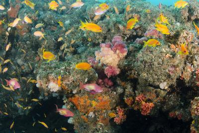 Soft Coral and Reef Fish, Aliwal Shoal, KwaZulu-Natal, South Africa-Pete Oxford-Photographic Print