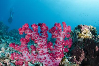 Soft Coral (Dendronephthya), Rainbow Reef, Fiji-Pete Oxford-Photographic Print