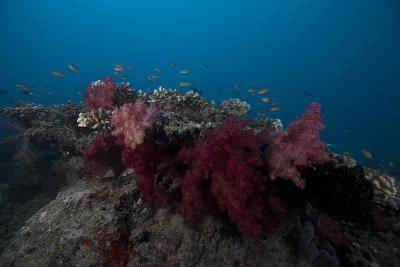 Soft Coral on a Fijian Reef-Stocktrek Images-Photographic Print