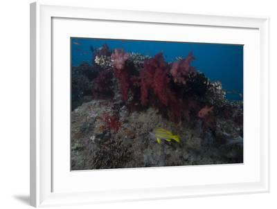 Soft Coral on a Fijian Reef-Stocktrek Images-Framed Photographic Print