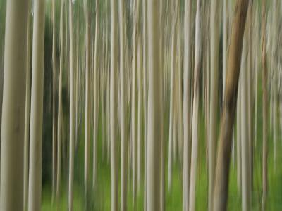 Soft Focus View of an Aspen Tree Forest-Raul Touzon-Photographic Print