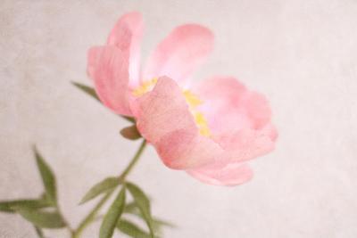 Soft Petals-Sarah Gardner-Photographic Print