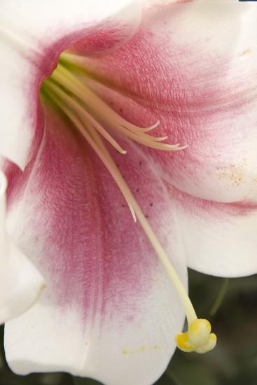 Soft Pink Lily II-Maureen Love-Photographic Print