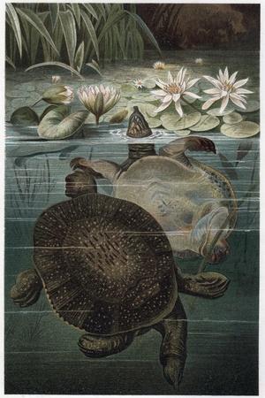 https://imgc.artprintimages.com/img/print/soft-shelled-turtle-by-alfred-edmund-brehm_u-l-pub2590.jpg?p=0