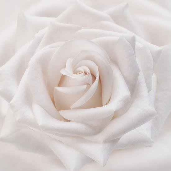Soft White Rose-Cora Niele-Photographic Print
