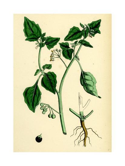 Solanum Nigrum Var. a Black Nightshade--Giclee Print
