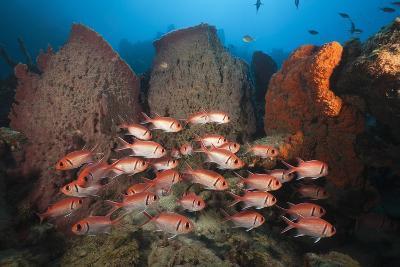 Soldierfish on Coral Reef-Reinhard Dirscherl-Photographic Print