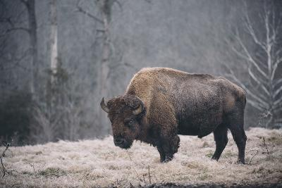 Solitary Bison II-Adam Mead-Photographic Print