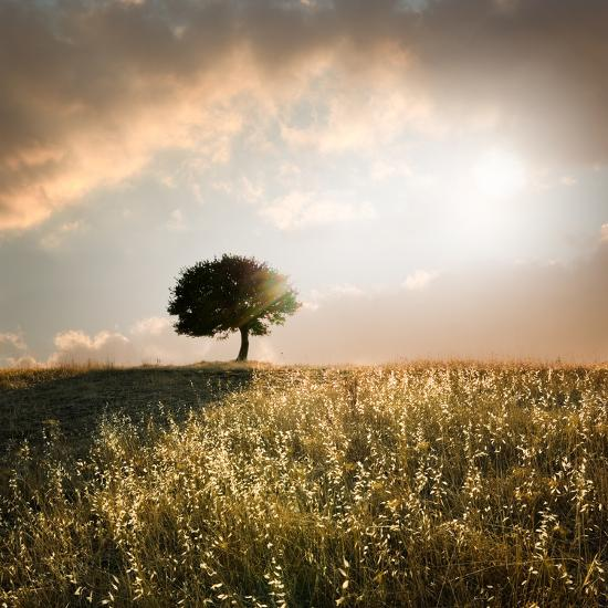 Solitary Oak Tree in the Sunset-ollirg-Photographic Print