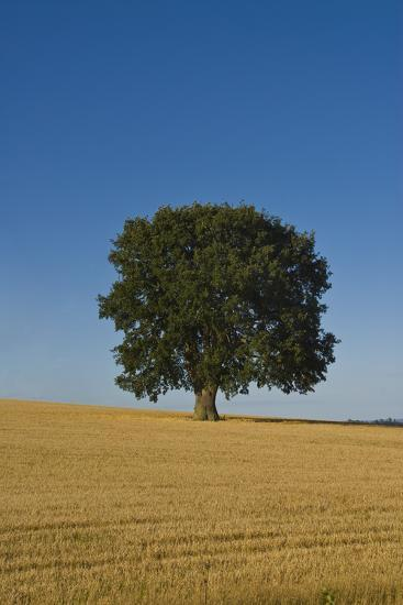 Solitary oak tree stands in a cropped field-Charles Bowman-Photographic Print