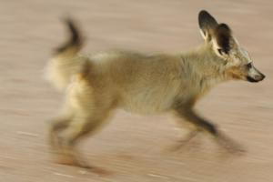 Bat-Eared Fox (Otocyon Megalotis) Running, Blurred Motion Photograph, Namib-Naukluft National Park by Solvin Zankl