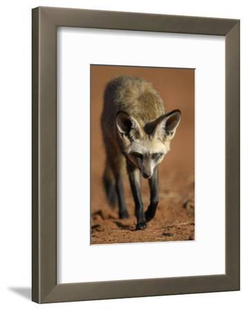 Bat-Eared Fox (Otocyon Megalotis) Walking, Namib-Naukluft National Park, Namib Desert, Namibia