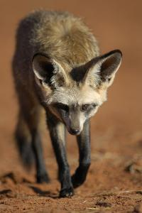 Bat-Eared Fox (Otocyon Megalotis) Walking, Namib-Naukluft National Park, Namib Desert, Namibia by Solvin Zankl