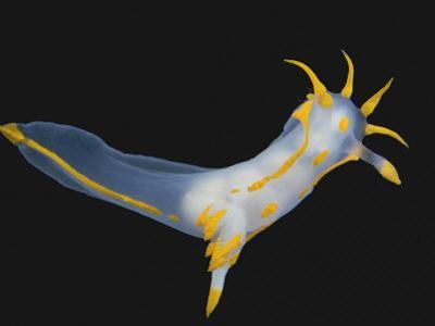 Nudibranch by Solvin Zankl