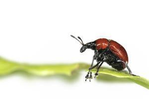 Oak Leaf Roller Beetle (Attelabus Nitens) Rolling Leaf, Gohrde, Germany, May. (Sequence 1-7) by Solvin Zankl