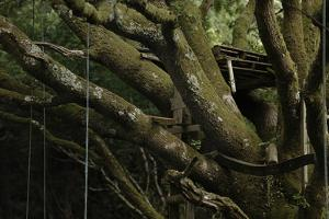Oak Tree (Quercus Sp) with Ropes for Climbing and a Wooden Pallet to Create a Platform by Solvin Zankl