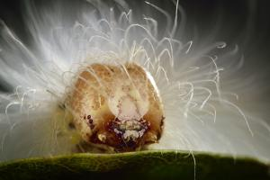 The Scarce Merveille Du Jour (Moma Alpium) Caterpillar with Urticating Hairs by Solvin Zankl