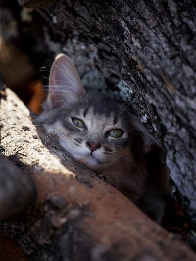Somali Cat in Tree-Adriano Bacchella-Photographic Print
