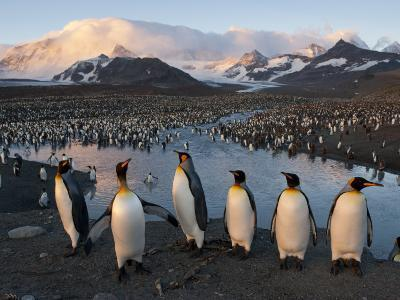 Some of the 100,000 Nesting Pairs of King Penguins in St. Andrews Bay-Joel Sartore-Photographic Print