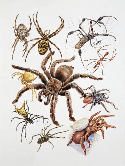 Some Species of Spiders, Argiopidae, Drawing--Giclee Print