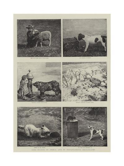 Some Studies of Animal Life by Instantaneous Photography--Giclee Print